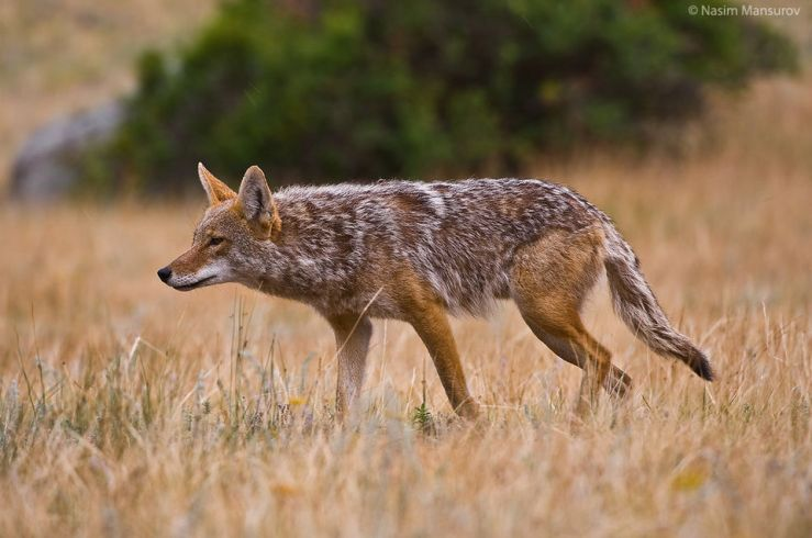 Coyote-Hunting-960x637