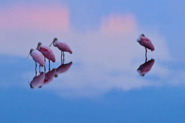 Flat billed crane